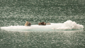 Sea Lions on Iceberg Stock Photo
