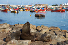 Sea Lions in Iquique Harbour Royalty Free Stock Photo