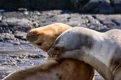 Sea lions on isla in  beagle channel near Ushuaia Argentina Royalty Free Stock Photos