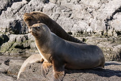 Sea lions on isla in  beagle channel near Ushuaia Argentina Royalty Free Stock Photography