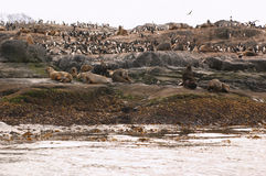Sea lions island. Sea lions and cormorans island Royalty Free Stock Photos