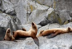 Sea Lions in the Kenai Fjords National Park royalty free stock images