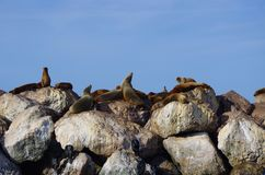 Sea lions king of the mountain Royalty Free Stock Images