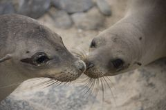 Sea Lions Kissing Royalty Free Stock Images