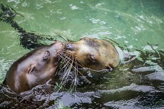 sea lions kissing together Royalty Free Stock Photos