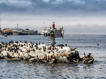 Sea lions and Kormorans in Monterey harbor, California Royalty Free Stock Photos