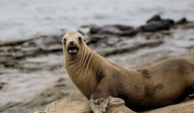 Sea Lions La Jolla Stock Photo