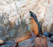 """Sea Lions on La Lobera """"the Wolves Lair"""" the Sea Lion colony rock Royalty Free Stock Photos"""