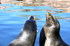Sea lions at the lake Stock Images