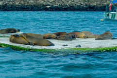 Sea lions laying on the dock galapagos islands Royalty Free Stock Photo