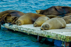 Sea lions laying on the dock galapagos islands Royalty Free Stock Photography