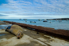 Sea lions laying on the dock galapagos islands Stock Photography