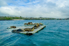 Sea lions laying on the dock galapagos islands Royalty Free Stock Photos