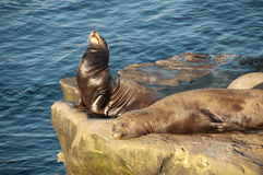 Sea lions lazying in the sun. A pair of sea lions sleeping and sunbathing in la jolla, california Royalty Free Stock Image