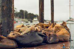 Sea Lions lounge on a floating dock in the middle of the Morro Bay Harbor. royalty free stock images