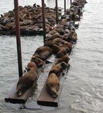 Sea lions. Lounging in Astoria, Oregon Royalty Free Stock Images