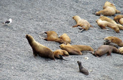 Sea lions lying on the ocean shore Stock Image