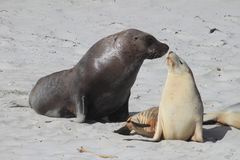 Sea Lions. A male and a female kissing on the beach stock photo