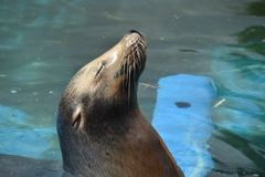Resting sea lion. Sea lions are sea mammals characterized by external ear flaps, long foreflippers Royalty Free Stock Images