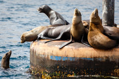 Sea Lions mass on piling barking and sunning themselves. Bunch of sea lions male and female sea lions, zalophnus californianus, off Catalina Island California Stock Photo