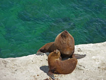 Sea lions royalty free stock photos