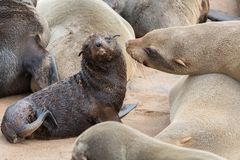 Sea Lions mom and baby Royalty Free Stock Image