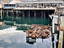 Sea lions in Monterey harbor, California Stock Images