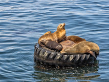 Sea lions in Monterey harbor, California Stock Photos