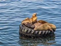 Sea lions in Monterey harbor, California Stock Photos