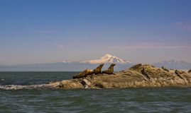 Sea Lions and Mount Baker Royalty Free Stock Photography