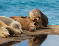 Sea Lions by the Ocean Stock Photo