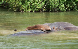 Sea lions - one basking, one swimming Royalty Free Stock Images
