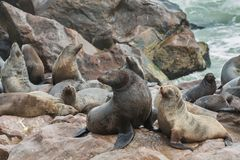 Sea Lions over the rocks Royalty Free Stock Photo