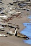 Sea lions at the Pacific Coast, California, USA Stock Photo
