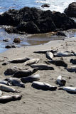 Sea lions at the Pacific Coast, California, USA Stock Image
