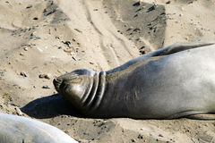 Sea lions at the Pacific Coast, California, USA Stock Images