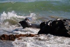 Sea lions at the Pacific Coast, California, USA. Stock image of Sea lions at the Pacific Coast, California, USA Stock Image
