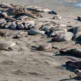 Sea Lions on the Pacific Coast Highway in California USA Royalty Free Stock Photography