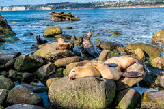 Sea Lions on the Pacific Ocean Coastline in California Royalty Free Stock Images