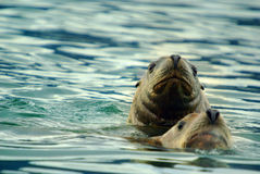 Sea lions pair Royalty Free Stock Images