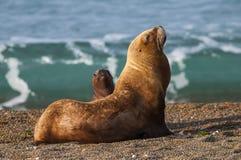 Sea Lions. Peninsula valdes, Patagonia , Argentina royalty free stock photography
