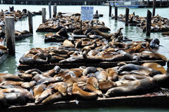 Sea Lions, pier 39 Royalty Free Stock Photography