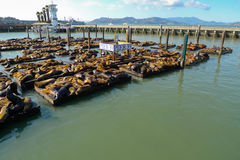 Sea lions at Pier 39 Stock Image
