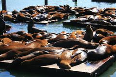 Sea lions at Pier 39, San Francisco Stock Image