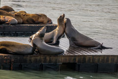 Sea Lions of Pier 39 at Fishermans Wharf - San Francisco, California, USA Royalty Free Stock Image