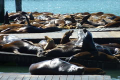 Sea Lions. At Pier 39 glistening in the sun Stock Photos