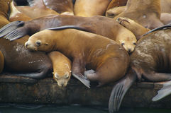 Sea lions on the pier Stock Image