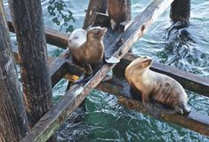 Sea lions pier Royalty Free Stock Image