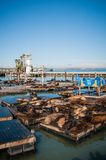 Sea lions at Pier 39 Panorama Royalty Free Stock Photography
