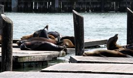 Sea Lions Stock Photo